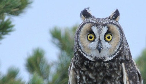 long_eared_owl._book_cliffs_utah._photo_by_seth_topham