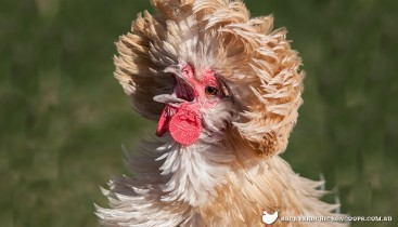 polish-chicken-show-bird-breed-profile